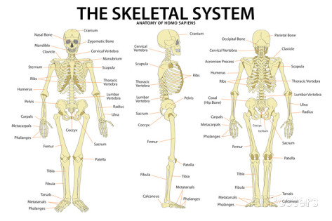 Skeletal System - My Site
