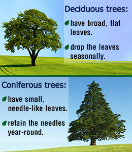 Image result for coniferous and deciduous tree